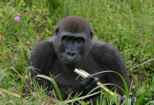 kauza gorila, kauza gorila ako internetový mem