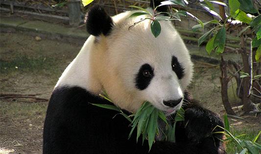 algoritmus panda